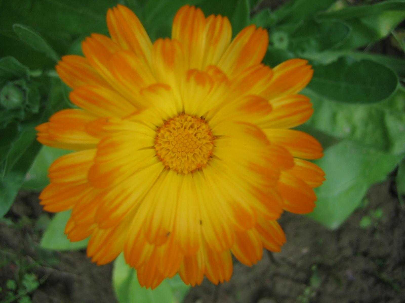 फूल को छिपालिया